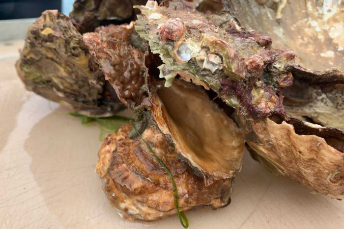 After being dredged to nearly nothing, Australia's lost shellfish reefs are roaring back to life_6