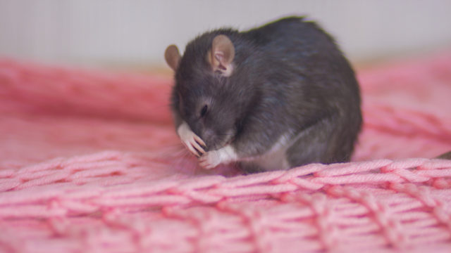 Nothing to sneeze at: Keto diet slows flu symptoms in mice