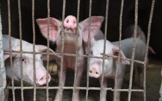 christmas ham swine fever