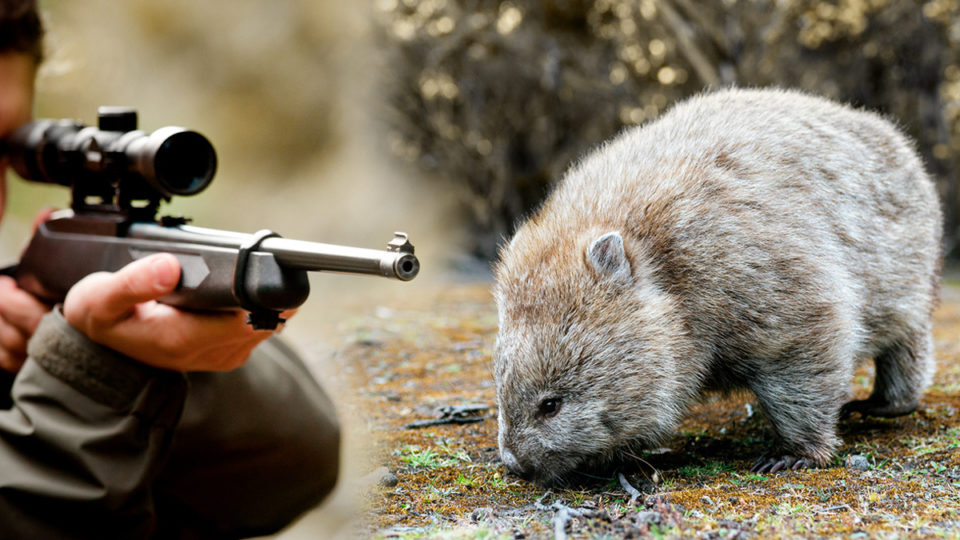 Victoria's wombat killing laws closer to being overhauled after public pressure