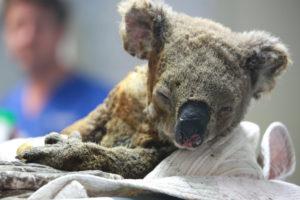 bushfires animal toll 2020