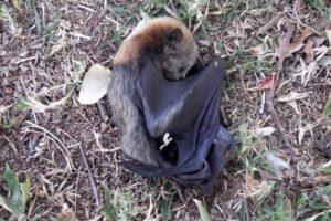 bats-drought
