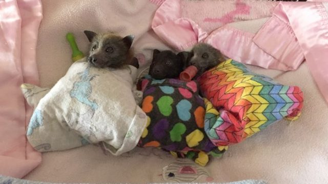 Mass baby bat deaths threaten forests' futures as effects of drought, bushfires mount