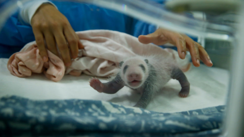 Baby Panda S Small Size Remains A Scientific Mystery The New Daily