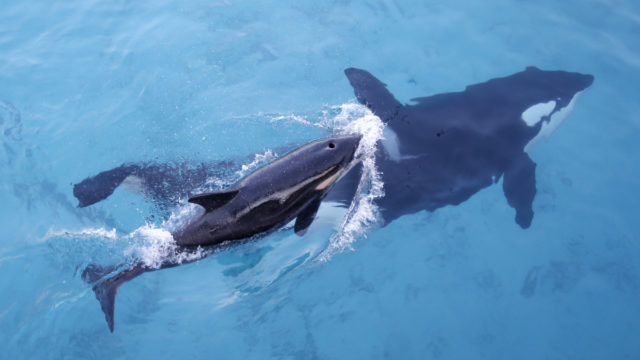 Why menopausal killer whale grandmothers are vital for survival of the species