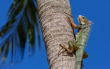 iguanas florida fall cold