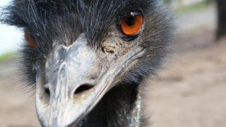 Tasmania emu