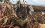 dead koalas plantation