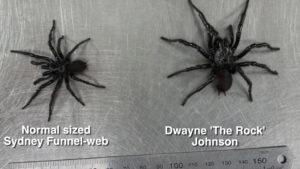 huge funnel web spider