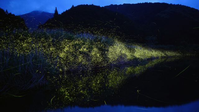 Australia's fireflies among those in trouble amid global extinction threat