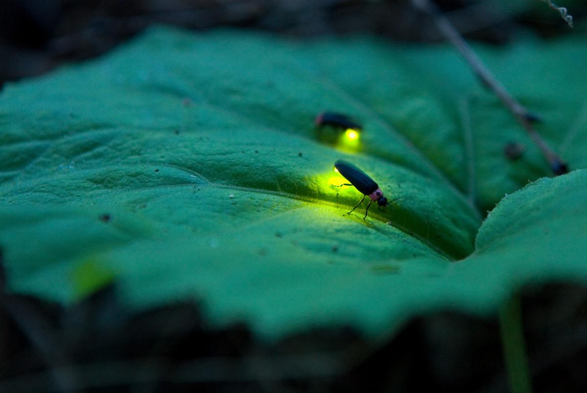 Male firefly