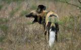 wild dogs safari park deer