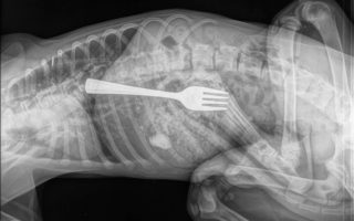 An x-ray of the dog showing a fork inside it
