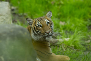 tiger new york zoo coronavirus