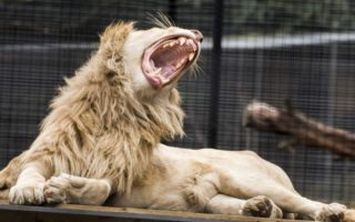 zookeeper lion attack