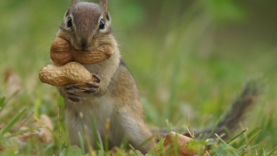 A squirrle eating peanuts