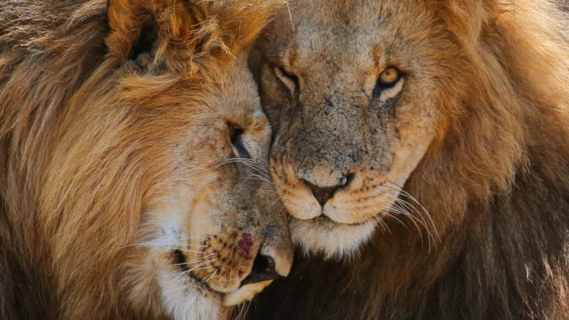 Lions are one of the original big five – and a contender for the updated version.