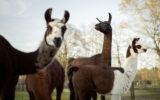 Llamas fight coronavirus
