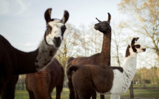 Llamas fight coronavirus