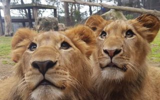 lions attack shoalhaven zoo