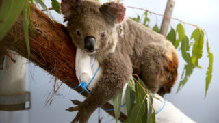 koalas extinct nsw