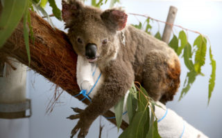 koalas extinct nsw