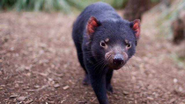 A Tasmanian devil at Bonorong.
