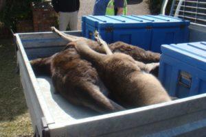 kangaroos killed south coast