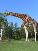 world's tallest giraffe