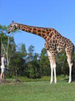 world's tallest giraffe