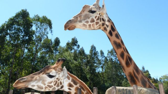 Meet the mighty Forest – he's officially the world's tallest giraffe