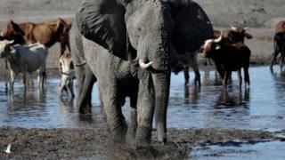 elephants botswana
