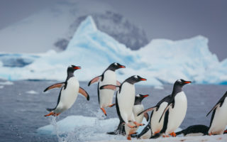 Gentoo penguins explode out of the ocean