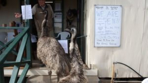 emus queensland