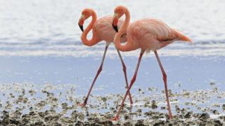 Flamingos in Australia