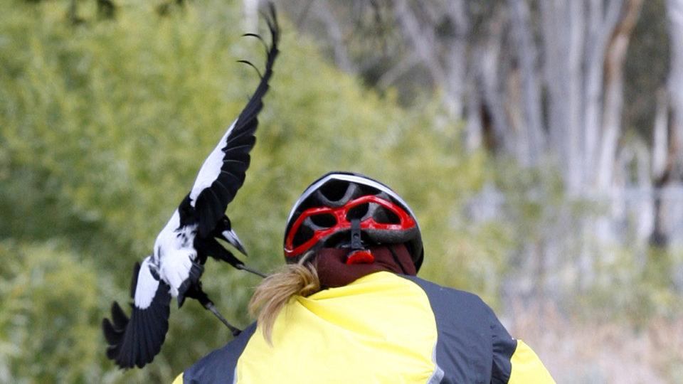 magpie swoop mask victoria