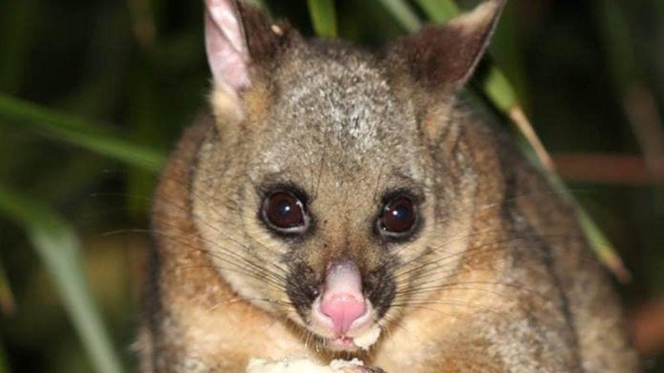 Mallacoota Possum