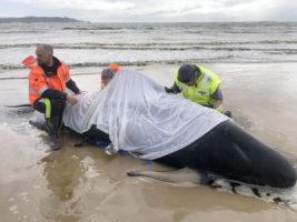 whale stranding tasmania