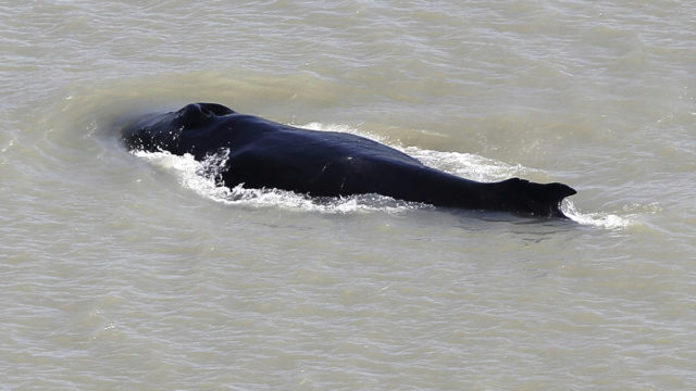 Whale swims free from croc-infested Kakadu river