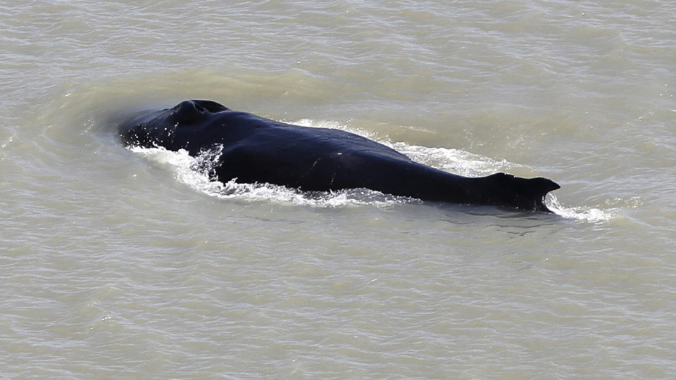 humpback whale river nt