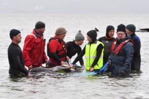 whale stranding second pod