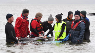 whale stranding second pod