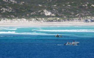 kelpies shark attack surfer