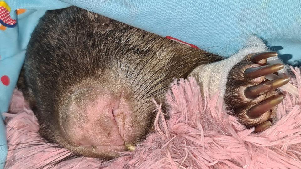 harold wombat shotgun
