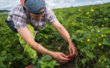 A worker picks strawberries on a farm