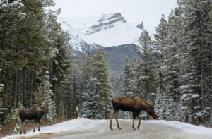 moose snow salt canada