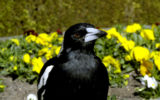 magpie swoop euthanise victoria