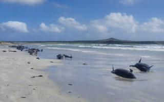 dolphin stranding chathams