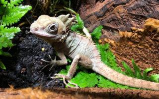 forest dragon sex change