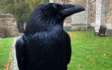 tower london missing raven